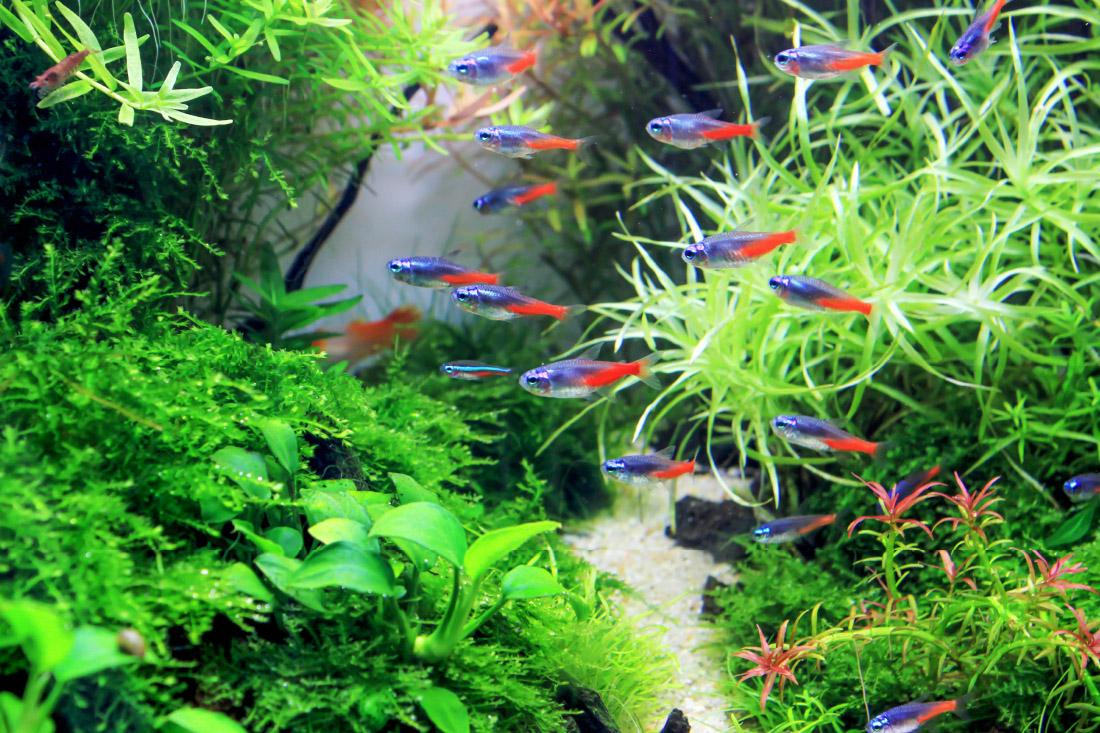 Neon czerwony - rybka akwariowa na start